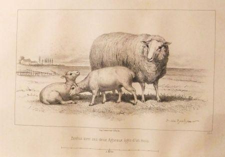 Libro Illustrato Bonheur - Considérations sur les bêtes à laine au milieu de XIXe siècle, et notice sur la race de la charmoise