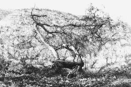 Acquaforte Barbisan - Il castagno morto