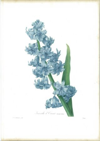 Acquaforte Redouté - Jacinthe d'orient (variété bleue)